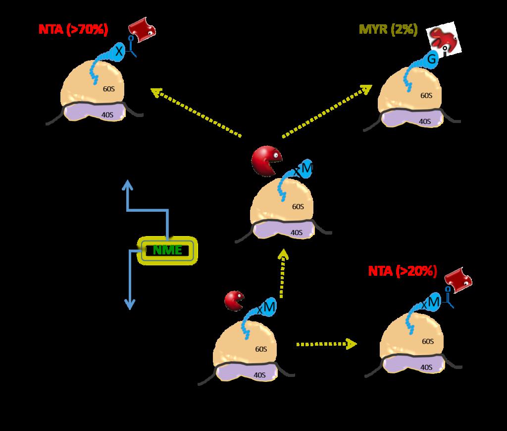 Major co-translational N-terminal protein modification (NME, MYR, NTA)
