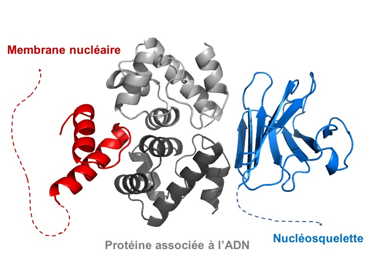 First structural description of the binding properties of human nuclear lamins. The arrow shows the interface that is disrupted in lamin variants associated to accelerated ageing syndromes (Samson, NAR, 2018, doi: 10.1093/nar/gky736).