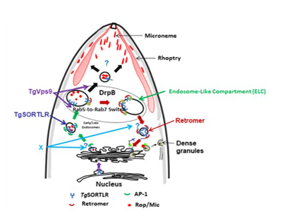 Figure 1: Membrane trafficking during secretory organelles