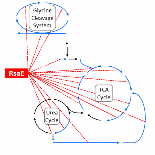 Metabolic network down-regulated by the RsaE sRNA
